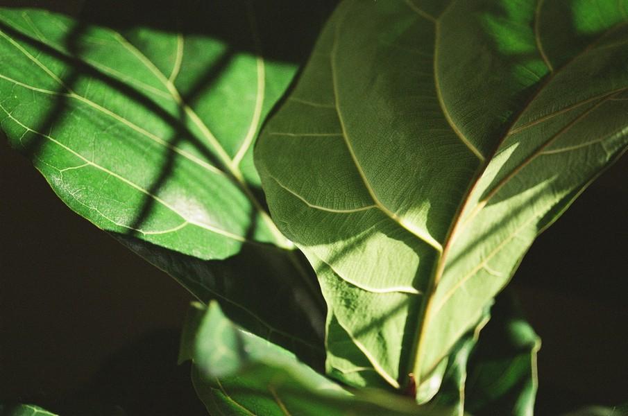 feuilles de figuier exposés à la lumière