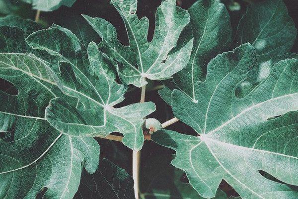 Comment répondre efficacement aux besoins d'un figuier dans son jardin ?