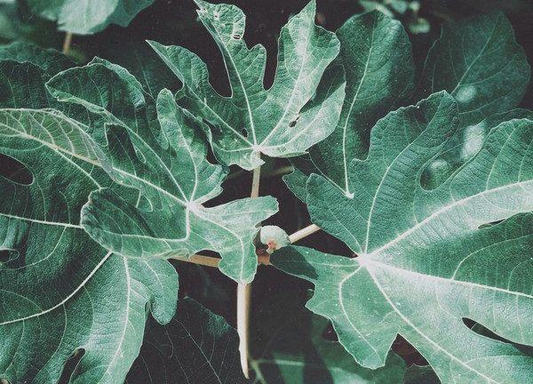 feuilles d'un arbre figuier