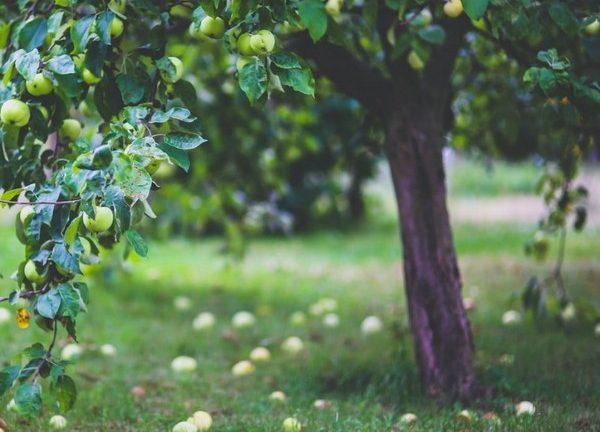 pommier avec des pommes par terre